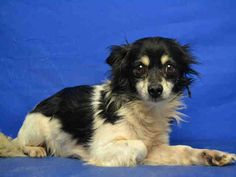 HARLEY - ID#A141424  I am a neutered male, black and white Chihuahua - Long Haired mix.  The shelter staff think I am about 7 years old. Marion County Animal Services  5701 SE 66th Street  Ocala, FL 34480 Phone Number: (352) 671-8700