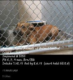 SAFE 8/11 Past due out; needs rescue ASAP. ✔Has been on court hold; they will PTS if no one comes for her✔ ▪ No. 575-624-6722 Roswell Animal Control 705 E. McGaffey, #Roswell, #NM 88201▪ ✔ ISABELLE ▪ 9-month-old **PUPPY** ▪ Pit X ▪ Female ▪ Brown/Black ▪ Cage #62 (On Court Hold Until 8-04) | Impound #3050 ▪ Intake 7-28-15 | Due Out 8-04-15  LINK: https://m.facebook.com/RoswellUrgentAnimalsAtAnimalControl/photos/pb.176246809209991.-2207520000.1438860455./481504628684206/?type=1&source=42 ▪  M