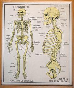 Anatomie - Corps humain - Vintage - Affiche scolaire double face d'école Française 1960. Le Squelette - l'Excrétion Cage Thoracique, Human Body Science, French School, School Posters, French Vintage, Skeleton, Anatomy, About Me Blog, Prints
