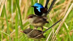 Fairy wrens by Ann Powell.