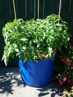 tomatoes growing in self-watering DIY plastic drum container