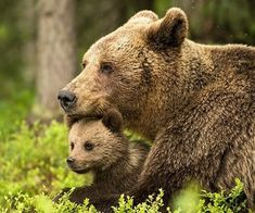 amazing, animals, and bear image Cute Baby Animals, Animals And Pets, Baby Pandas, Animals Images, Wild Animals, Bear Cubs, Grizzly Bears, Panda Bears, Tiger Cubs