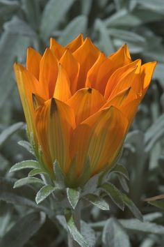 Orange gazania flower in TAMU Holistic Garden