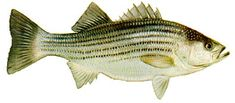 NJ Saltwater Fishing Information,NJ Fishing Forums, NJ Fishing Reports,NJ Surf Fishing Reports, NJ Marine Weather Forecast,Tide Charts,Fishing Pictures, Fishing Tips, Fishing Articles. A Friendly Online Saltwater Fishing Community. Stripped Bass  Surf Fishing Sandy Hook
