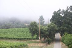 Fog over the grape vines in Amador County, Spring 2012.