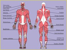 le fonctionnement du corps humain