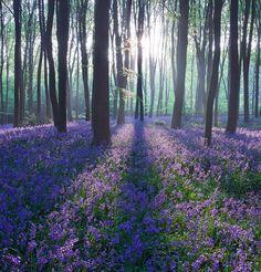 Bluebell sunrise / Micheldever Woods, Hampshire, UK. By Antony Spencer.