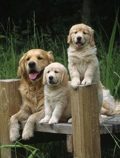 group of puppies golden retrievers & puppies group . group of puppies . group of puppies golden retrievers . puppies in group . group of cute puppies . dogs and puppies group Cute Puppies, Cute Dogs, Dogs And Puppies, Doggies, Funny Dogs, Beautiful Dogs, Animals Beautiful, Beautiful Family, Beautiful Pictures