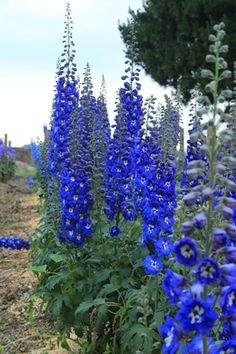 ╭⊰✿ The Romantic Cottage Garden ✿⊱╮ Delphinium New Millennium Hybrid elatum 'Cobalt Dreams' Improved with consistently deep true cobalt blue flowers with a white bee. The stems are strong, holding up well in the landscape. Use this one as a focal point. Delphinium Azul, Delphinium Plant, Delphiniums, Gladioli, Flowers Perennials, Planting Flowers, Tall Perennial Flowers, Flowers Garden, Garden Cottage