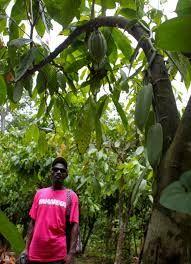 cocoa farmers historic haiti - Google Search
