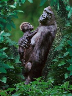 Gorilla mother and child
