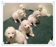 samoyed puppies for sale in michigan