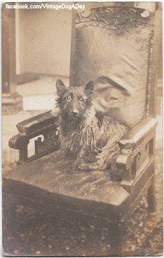 Scottish Terrier, 1913