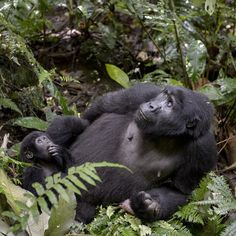 "thephotosociety: ""Photo @lucianocandisani ( Luciano Candisani ). I am on assignment on Bwind Forest in Uganda East Africa. My main interest here are the Montain Gorillas. This young mother and her newborn were looking up to a tree canopy where a big silverback male where shaking the branches in order to drop fruits for the female to eat.  @natgeo @ngbrasil @natgeocreative @ilcp_photographers @lucianocandisani #gorilla #monkey #uganda #atol #gorila #bwind #photography #fotografia #fauna…"