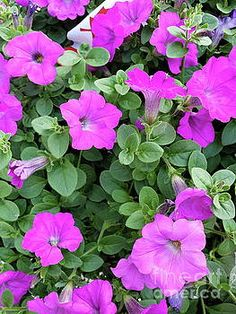 Beautiful closeup view of pink petunias by Marcella Fostey