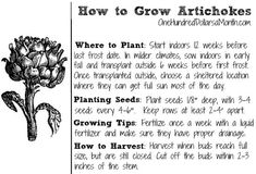 How-to-Grow-Artichokes Dig for Your Dinner – Starting Artichokes from Seed