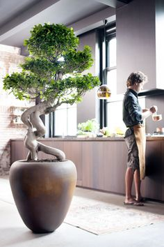 Ficus Ginseng - All For Herbs And Plants