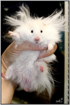 Marvelous little one... Long haired teddy bear hampster  named Albert Einstein!