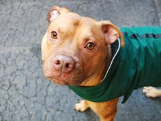 TO BE DESTROYED - 01/30/15 Manhattan Center -P My name is TERRY. My Animal ID # is A1025358. I am a male brown pit bull mix. The shelter thinks I am about 3 YEARS old. I came in the shelter as a OWNER SUR on 01/13/2015 from NY 10460, owner surrender reason stated was NO TIME.  https://www.facebook.com/Urgentdeathrowdogs/photos/a.611290788883804.1073741851.152876678058553/946382525374627/?type=3&theater