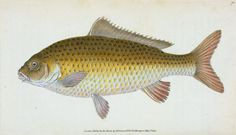 Carp, Cyprinus Carpio. The natural history of British fishes : including scientific and general descriptions of the most interesting species, 1768