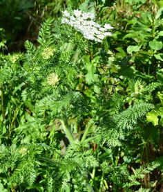 Plantas: Beleza e Diversidade: Cenoura-brava (Daucus muricatus)