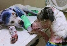 Ce que ce chien convalescent fait lorsqu'il repère un autre chien dans le besoin va vous briser le coeur