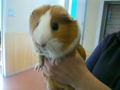 A98870 smooth hair red and white female guinea pig,Found 12/13, El Camino and Sunnyvale-Saratoga Road
