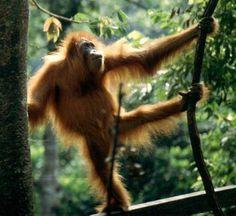 Orangotango di Sumatra