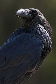 I always thought it would be so cool to have a pet crow or raven. Very intelligent birds, and to me beautiful birds.
