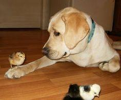 cutest labrador - Google Search