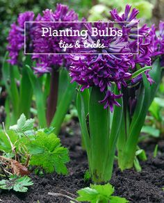 These planting instructions will give you general information on when and how to plant flower bulbs and how to take good care of them.