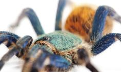 Biomimicry Thinking – 'Tarantula Blue' Now One Step Closer To Reality