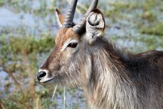 Waterbuck, Kruger National Park