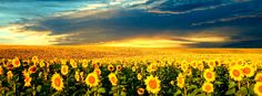 Sunflowers facebook cover