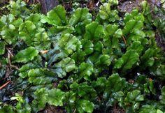 Lungmossa / Marchantia polymorpha Lava, Lettuce, Herbs, Vegetables, Plants, Herb, Vegetable Recipes, Plant, Pallet