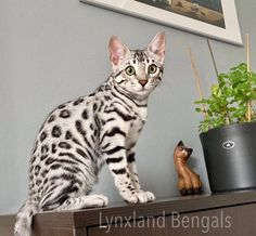 Bengal Cat Breeders, Bengal Kittens, Kitty Cats, Silver Bengal Cat, Silver Cat, Kittens Cutest, Cute Cats, Egyptian Mau, Paws And Claws