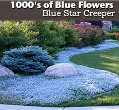 How To Have Blue All Summer Long - Blue Star Creeper