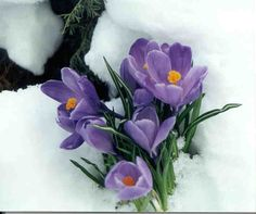 Flower That Blooms in Snow