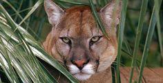 The Florida panther, Everglades, Florida