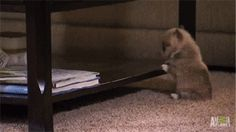 Corgi pup struggles… [Click to see the gif! It's worth it, I promise.]