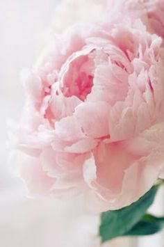 Peony in motion