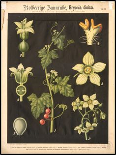 Plants from a German book.