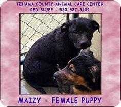 Red Bluff, CA - Labrador Retriever Mix. Meet MAIZY a Puppy for Adoption.