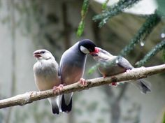 Normal java feeding fledglings. Photo by Marie Hale.-tropical-hobbies | Vivariums-birds guide- java finch