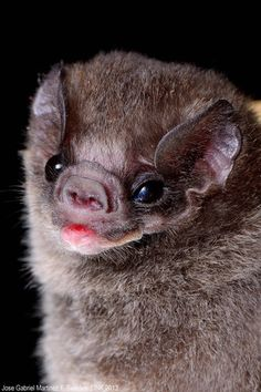 The Hairy-legged Vampire Bat  is the only one of the 3 vampire species that has been documented in the US. It seem to strongly prefer avian blood and often lands on chickens and bites them near the cloaca!