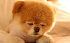 Download wallpapers Boo, cute animals, sleeping boo, puppy, dogs, spitz, funny dog, Pomeranian dog, pets, Pomeranian Spitz