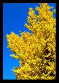 Gingko Tree in the Fall           Downtown Knoxville, TN    Photograph by Coby Beach Knoxville,Tn.