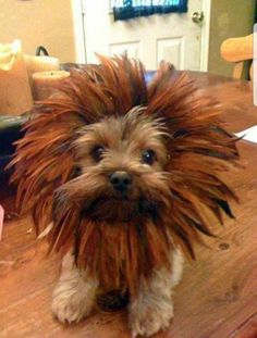 "The ""Cowardly Yorkie"" from The Wizard Of Yorkshire! Animals And Pets, Baby Animals, Funny Animals, Cute Animals, Animal Funnies, Baby Cats, Cute Puppies, Cute Dogs, Dogs And Puppies"