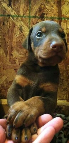 #Doberman #puppy