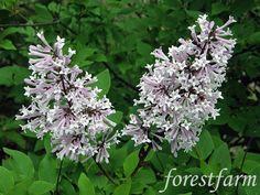 Syringa pubescens micro. Miss Kim  - Miss Kim Lilac  - Flower